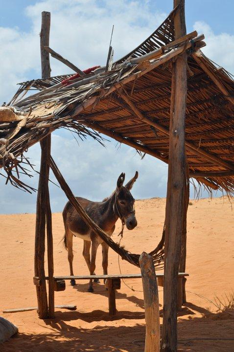 A donkey in  Jericoacoara, Brazil